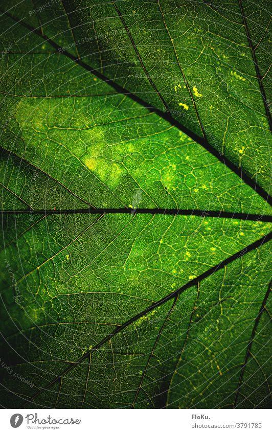 Struktur eines Blattes in grün natur umwelt nachhaltig farbe adern struktur Pflanze Außenaufnahme natürlich Wachstum Grünpflanze Nahaufnahme Detailaufnahme