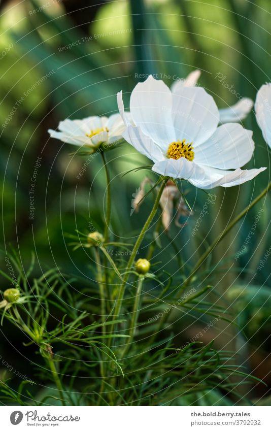 Blume weiß grün Blüte Garten Sommer Natur Pflanze Außenaufnahme Farbfoto Nahaufnahme Blühend Frühling Schwache Tiefenschärfe Wiese Tag Menschenleer schön