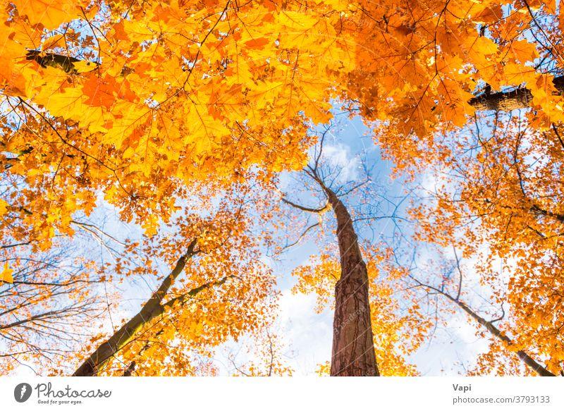 Bodenansicht der Ahornbäume im Herbstpark Baum orange Bäume Park Blätter Laubwerk Gesäß Himmel Ansicht Saison Natur Wald Blatt grün fallen hell schön natürlich
