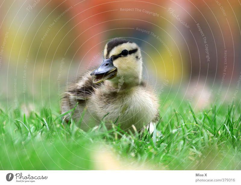 süßes Ding Gras Teich Tier Vogel 1 Tierjunges klein niedlich Küken Ente Neugier Schnabel schnattern watscheln Quaken Farbfoto mehrfarbig Außenaufnahme