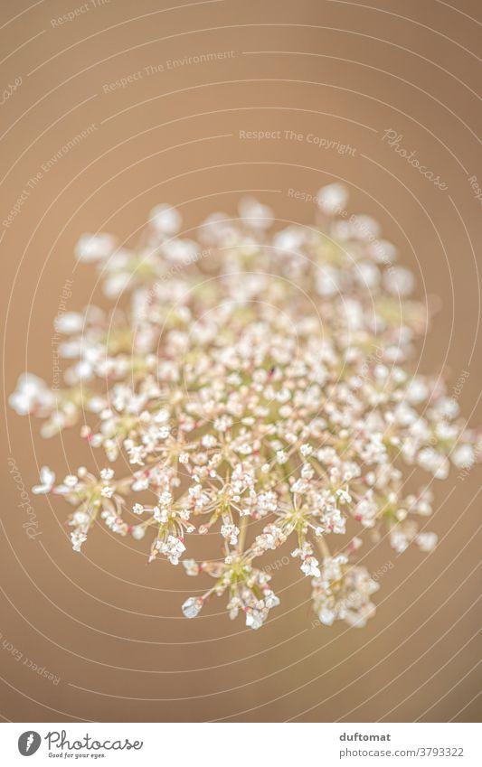 Makroaufnahme einer Wiesenblume 'Wilde Möhre' Blume Wildpflanze soft Natur weich Farbfoto Außenaufnahme wild beige Hintergrund beiger Hintergrund Freisteller