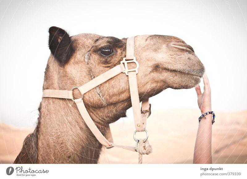 Kameltreiberin Umwelt Natur Tier Klima Dürre Wüste Oase Nutztier Tiergesicht Säugetier Dromedar 1 Abenteuer Tourismus Ferien & Urlaub & Reisen wandern Farbfoto