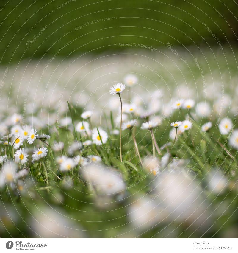 Ich bin ein Gänseblümchen im Sonnenschein Natur Frühling Pflanze Blume Gras Garten Wiese Blühend Neugier grün weiß Kraft aufstrebend Farbfoto Außenaufnahme