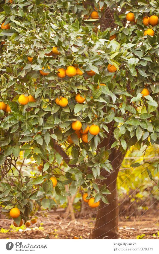 Apfelsinenhain Umwelt Natur Landschaft Pflanze Baum Nutzpflanze exotisch Landwirtschaft Orange Frucht Zitrusfrüchte Obstbaum Plantage mediterran heiß trocken