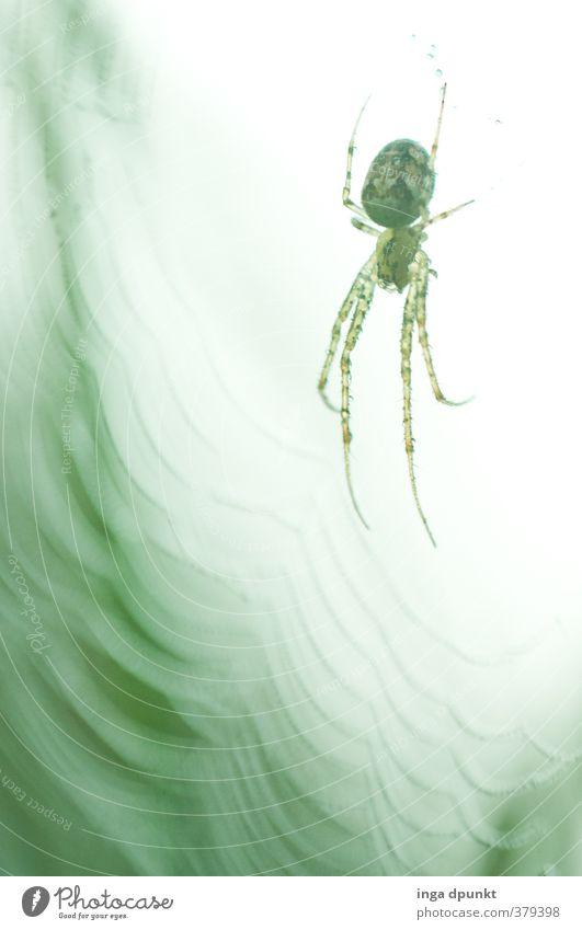 Netzwerk Umwelt Natur Tier Herbst Wildtier Spinne Spinnennetz spinnen 1 fangen warten Endzeitstimmung Überwachung Umweltschutz unheimlich gruselig Angst