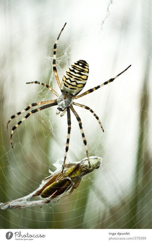 Ins Netz gegangen.... Umwelt Natur Tier Herbst Spinne Insekt Dieb Beute Beutezug Spinnennetz 2 fangen Fressen hängen Fangnetz Heuschrecke Farbfoto Tag