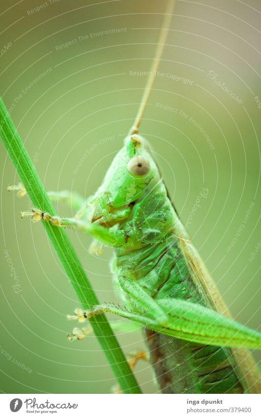 Flip Umwelt Natur Tier Wildtier Insekt Heuschrecke 1 Freundlichkeit grün Fühler Gras Naturschutzgebiet Biologie Artenschutz natürlich Farbfoto Außenaufnahme