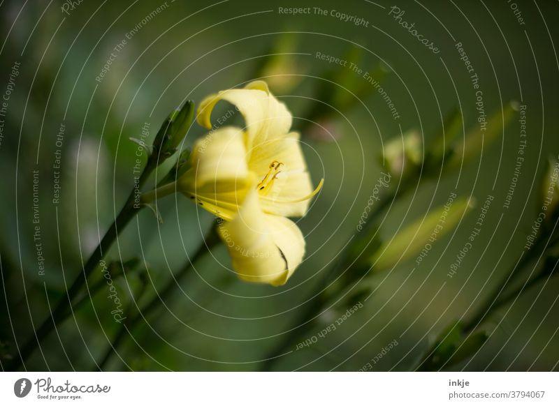 hellgelbe Lilienblüte Farbfoto Garten Außenaufnahme blühend Blüte nahaufnahme schwache Tiefenschärfe Lile Lilenblüte Sommer grün schön Pflanze Blume
