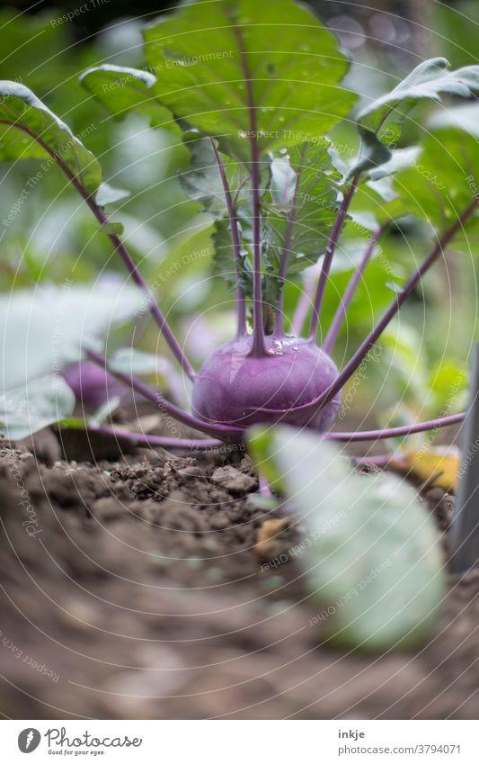 lilafarbener Kohlrabi Farbfoto Nahaufnahme schwache Tiefenschärfe garten Ernte Wachstum frisch Bio Außenaufnahme Garten Pflanze grün Menschenleer natürlich