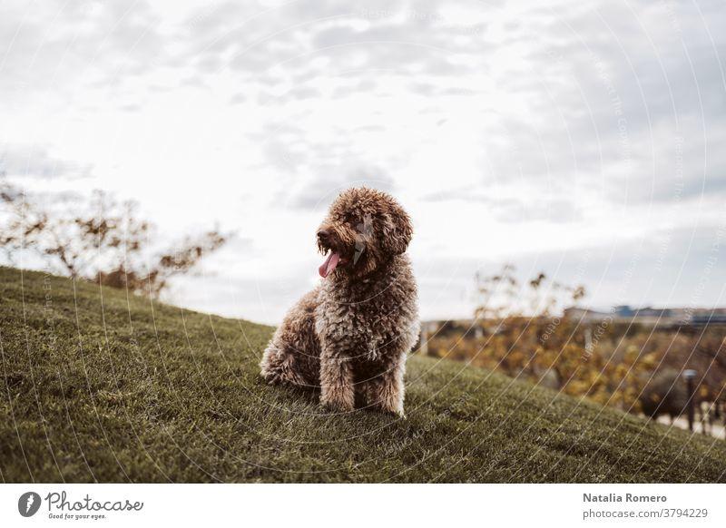 Ein wunderschöner spanischer Wasserhund sitzt an einem bewölkten Tag in Madrid auf der Wiese. Der braune Hund schaut sich etwas an, während er den Tag im Park genießt. Haustiere im Freien
