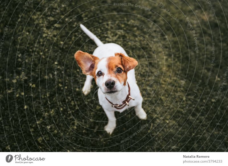 Ein schöner kleiner Hund, der sich im Park vergnügt. Er schaut auf etwas in der Nähe der Kamera. Er hat braunes und weißes Fell. Haustiere im Freien Tier