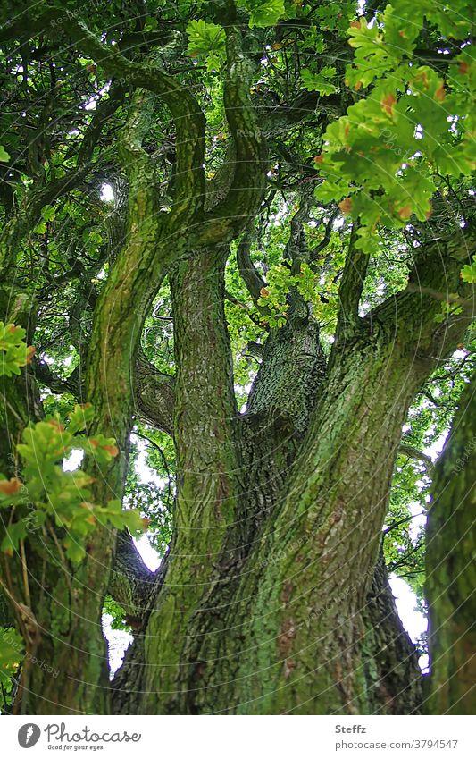 alte Eiche alter Baum Eichenbaum Baumstamm Ast Äste betagt verwittert braun Laubbaum Baumrinde Eichenblätter grün natürlich verzweigt Umwelt hochgewachsen Holz