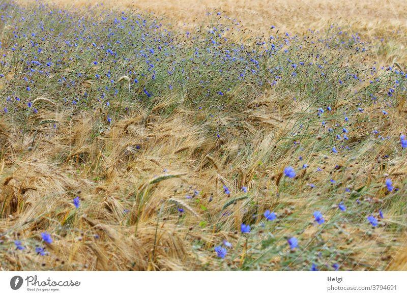 Farbkombination | Kornblumen blühen im Gerstenfeld Kornfeld Landwirtschaft Sommer wachsen Feld Getreide Natur Getreidefeld Ackerbau Ähren Nutzpflanze Pflanze