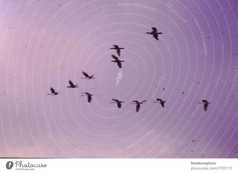 rosa vergilbtes Foto von fliegenden Zugvögeln Flug Vogelwelt vogel Himmel Vögel Konsonant Silhouette Rückflug Schwäne Schwan Vogelflug Vogelschwarm Störche