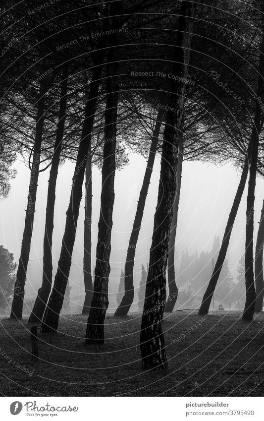 Nebel im Pinienwald Toskana Wald morgens Morgendämmerung Hügel Baum Menschenleer Landschaft Außenaufnahme Morgennebel Licht Ruhe