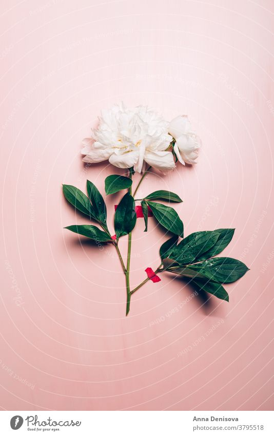 White Peony, schlichte Eleganz Pfingstrose rosa Haufen geklebt trendy Blume Blumenstrauß Pastell geblümt Blütenblätter sehr wenige Konzept Tapete Postkarte