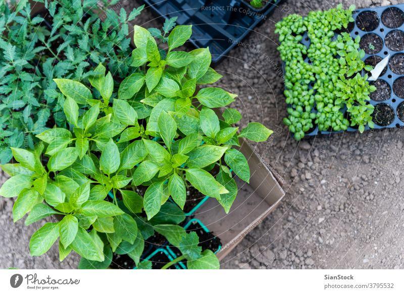 Junge Pflanzen, die auf dem Feld aus dem Boden wachsen wachsend Basilikum Paprika Tomaten botanisch Tomatenpflanze Blatt Gartenarbeit Wachstum Keimling grün