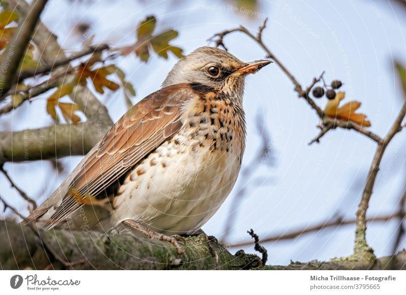 Wacholderdrossel im Baum Turdus pilaris Drossel Kopf Schnabel Auge Feder Flügel Tiergesicht Krallen Vogel Wildtier gefiedert beobachten Blick nah Nahaufnahme