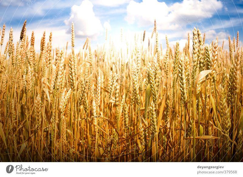 Getreide und Sonnenlicht Sommer Natur Landschaft Pflanze Himmel Wolken Horizont Wiese Wachstum hell blau gelb gold Weizen Feld Bauernhof Feldfrüchte Müsli