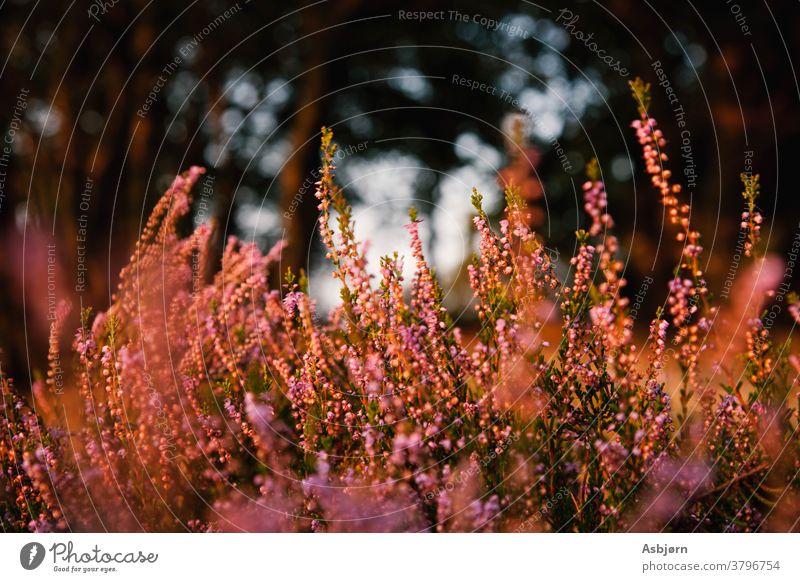 Lavendelblüten im sommerlichen Sonnenschein grün Stimmung Sonnenuntergang goldene Stunde Natur Blumen Lavendelfeld Schwache Tiefenschärfe violett Außenaufnahme