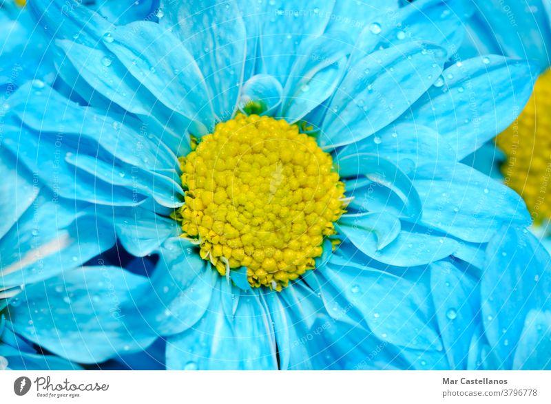 Gänseblümchen mit blauen Blütenblättern. Blumen Makro geblümt Hintergrund Natur Sommer Pflanze Frühling Wiese schön gelb Blütenblatt Schönheit natürlich Garten