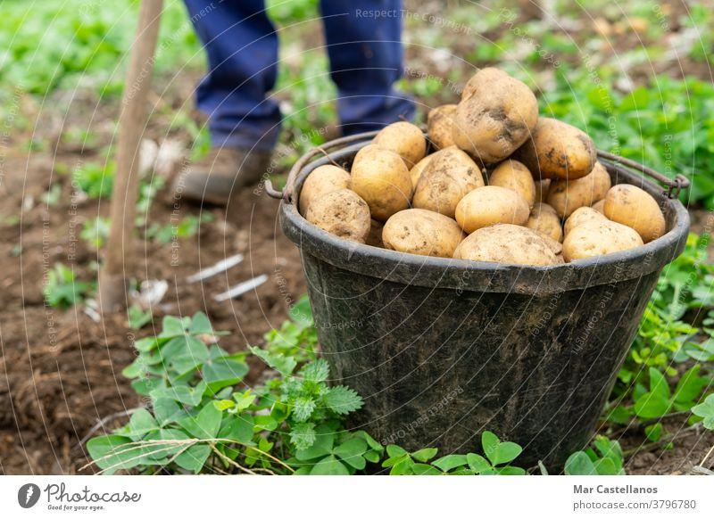 Mann mit Eimer voller frisch geernteter Kartoffeln Landwirtschaftliches Konzept. Ackerbau Ernte abholen herausnehmen Korb ländlich Bauernhof Knolle Lebensmittel