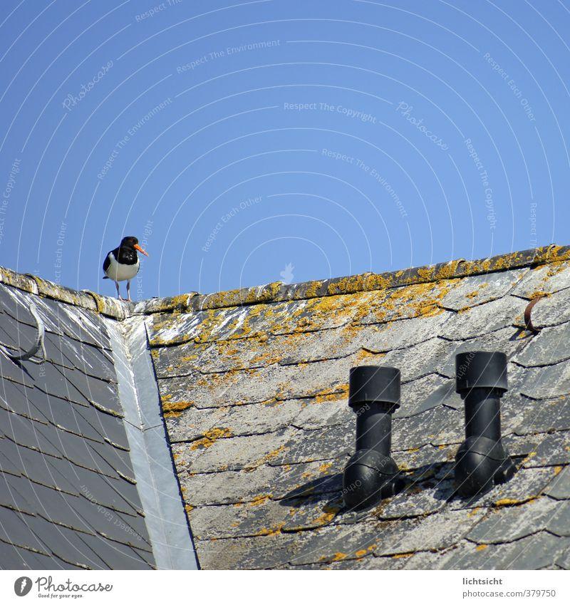Vogelklorutsche Meer Tier Haus Küste Idylle sitzen stehen Schönes Wetter Dach Nordsee Wolkenloser Himmel Kot Schornstein verwittert Dachrinne
