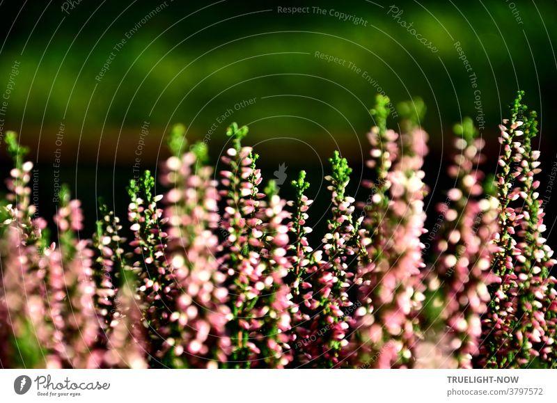 Winterhartes Grün. Erica macht mir Freude. Blüten rosarot. erica Erika Heidekraut Garten Gartenpflanze Natur Grabschmuck blühend winterhart grün Spitzen violett
