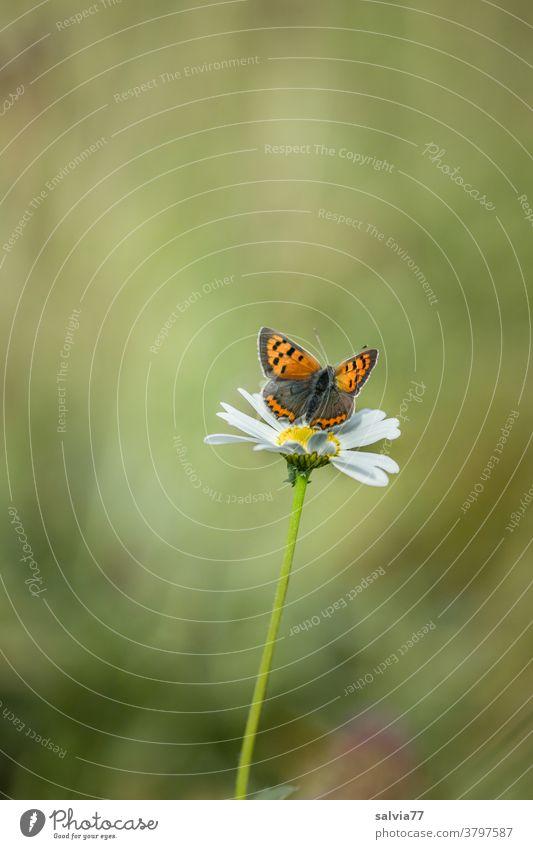 kleiner Feuerfalter, Sonnenbad auf einer Margerite Natur Blume Schmetterling Sommer Wiese Pflanze Blüte Blühend grün Farbfoto Menschenleer Unschärfe Tier Insekt