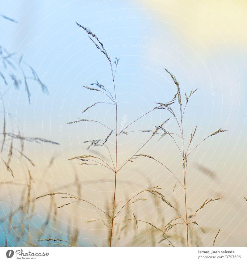 trockene Pflanze und Sonnenuntergang in der Natur in der Herbstsaison, Herbstfarben Pflanzen Blumen Garten Silhouette Himmel Farben mehrfarbig trocknen
