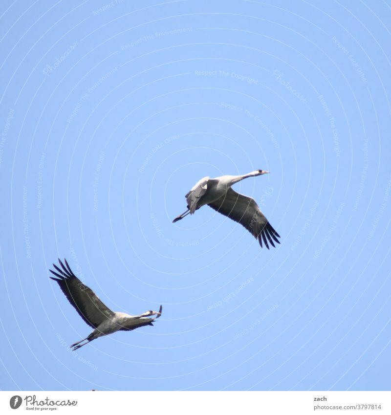 Rückflug Vogel Tier Himmel Natur Umwelt blau 2 zwei Vögel fliegen Kranich Kraniche am Himmel Flügel