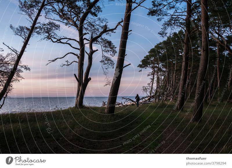 Dämmerung an einem Weststrand der Ostsee mit vom Wind geformten Kiefern, Strand Meer und einsamer Frau Natur Ferien & Urlaub & Reisen Landschaft Himmel Küste