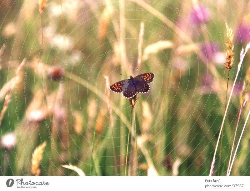 kleiner Schmetterling Gras Verkehr Schmetterling