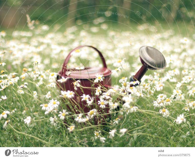 Rote Kanne auf grünem Grund Freizeit & Hobby Gartenarbeit Gärtner Umwelt Natur Pflanze Sommer Schönes Wetter Blume Gras Margerite gießen Gießkanne Wasser