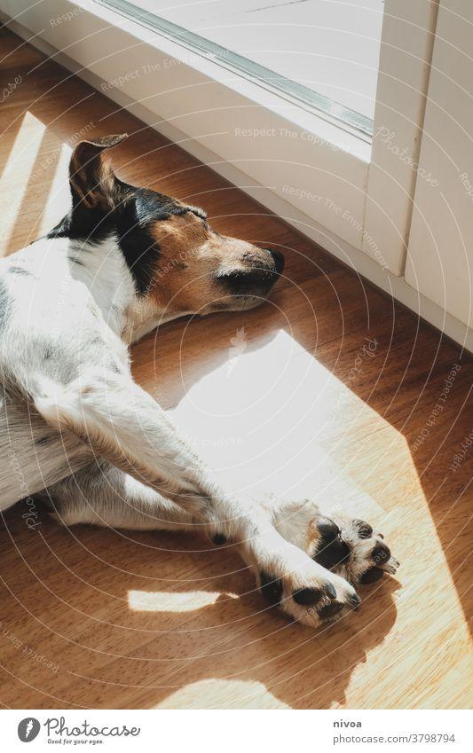 Jack Russell sonnt sich Jack-Russell-Terrier jack russell Sonnenbad Hund liegen schlafen Fenster Tier Haustier weiß niedlich intelligent 1 Blick Reinrassig