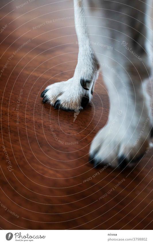 Hundepfoten jack russell jack russel terrier Pfote Tier Terrier Jack-Russell-Terrier Haustier weiß 1 niedlich klein braun Lifestyle Reinrassig gehorsam Porträt