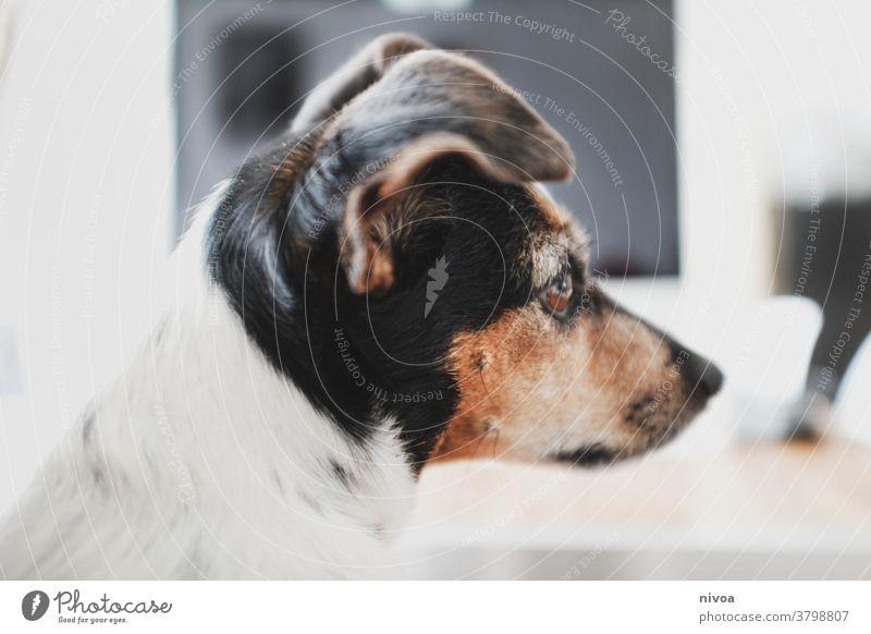 Kopf eines Jack Russel Terriers Tierporträt jack russel terrier jack russell niedlich weiß Jack-Russell-Terrier Hund gehorsam intelligent Reinrassig braun