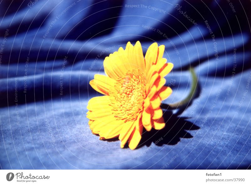 gelb auf blau Blume Stoff Blüte analog gerbara nicki Nahaufnahme flower