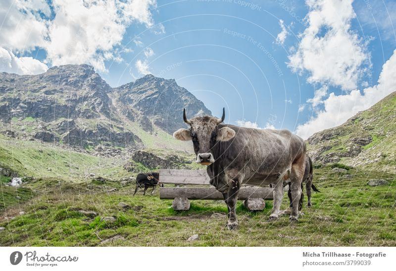 Weidende Kühe in den Alpen Kaunertal Österreich Tirol weiden Nutztiere Hörner Blick Kopf Gras Wiese Berge Gebirge Täler Himmel Wolken Sonne Sonnenschein Natur