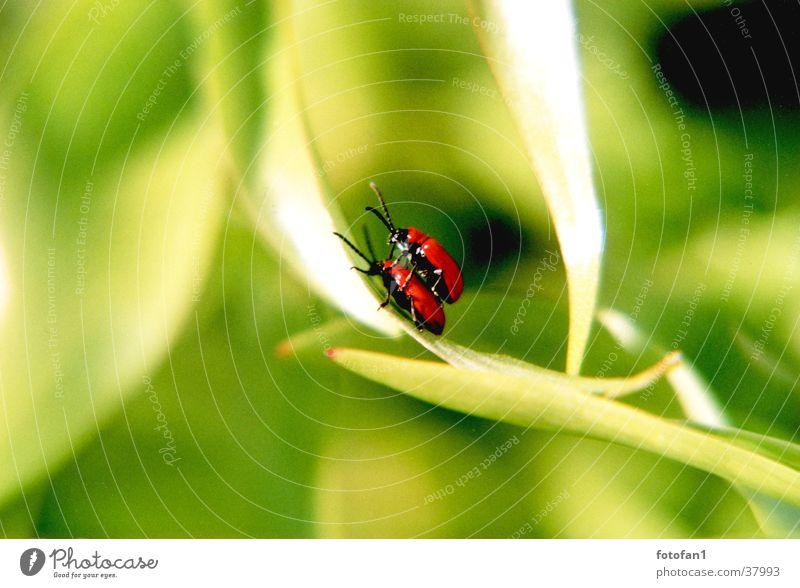 inflagranti rot grün Blatt Fortpflanzung Insekt Käfer tiefenunschärfe