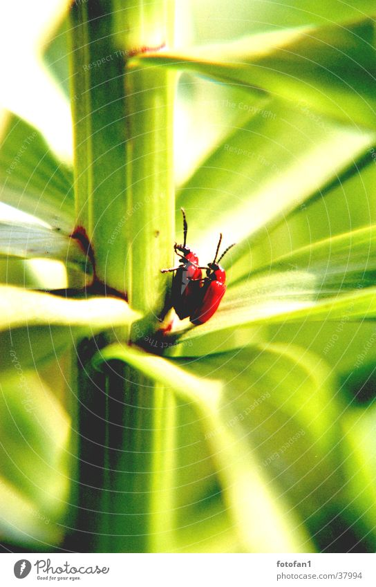 inflagranti #2 rot grün Blatt Stengel Fortpflanzung Insekt Käfer tiefenunschärfe