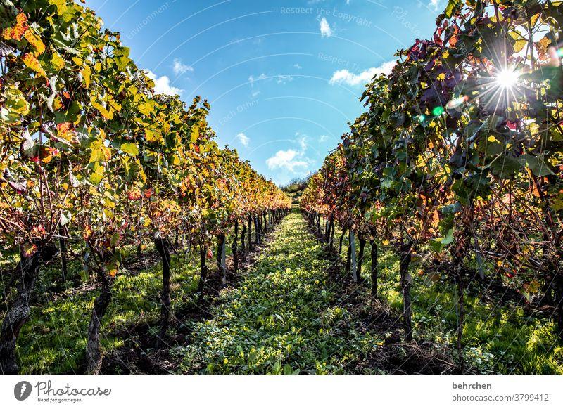 sonnenwein Sonnenstrahlen Herbstlaub grün Landwirtschaft Berge u. Gebirge Wolken Umwelt Schönes Wetter Ausflug Natur Landschaft Außenaufnahme Wein Weinrebe