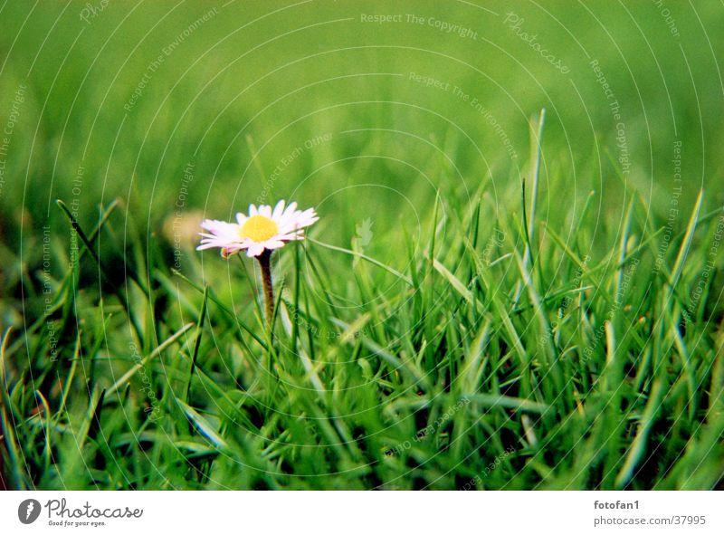 nur ein Gänseblümchen Blume grün Gras analog