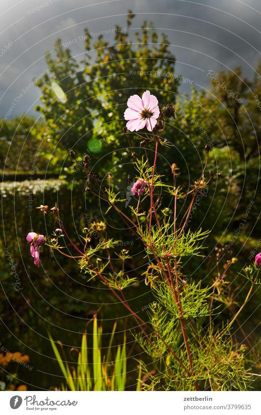 Cosmea im Gegenlicht blume blühen blüte erholung ferien garten himmel kleingarten kleingartenkolonie menschenleer natur pflanze ruhe schrebergarten strauch