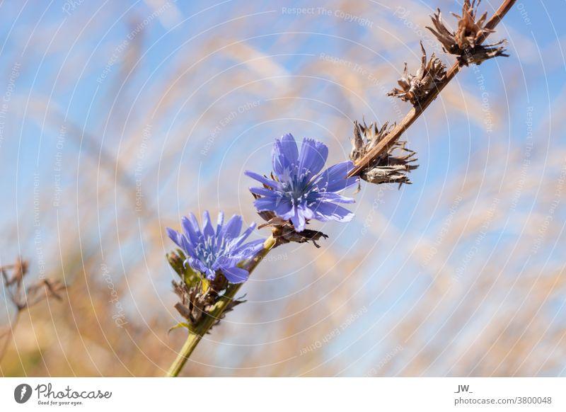Kornblume vor Blauem Himmel Blume blau Blüte Feld Außenaufnahme Blühend Natur grün Schwache Tiefenschärfe