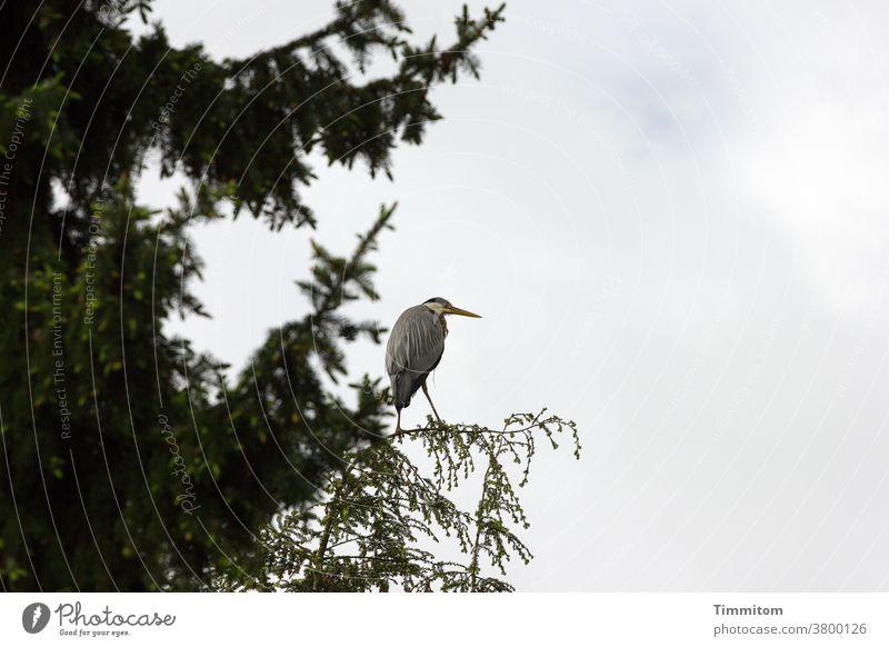 Ratloser Reiher auf allzu fragilem Landeplatz Vogel Tier Baum Wipfel Zweig Natur Menschenleer Himmel wolkig