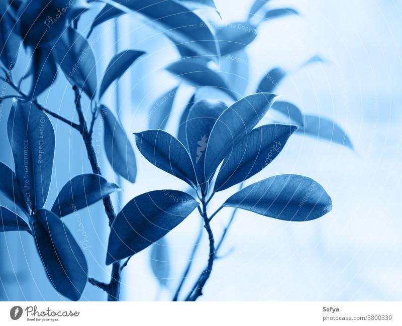 Ficus ginseng Bonsai-Pflanze. Klassisch blau 2020 klassisch Farbe botanisch Laubwerk tief Marine Blätter wachsen heimwärts Japanisch Klassik Garten Natur