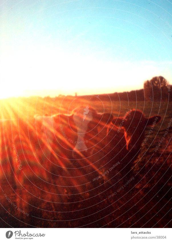 Geblendet von Kühen Sonne Tier Verkehr Kuh Weide Sonnenbrille