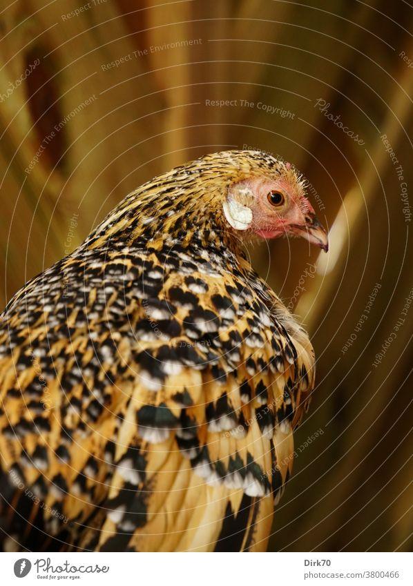 Porträt eines Zierhuhns Vogel Huhn Henne Tierporträt Profil Rückansicht geringe Tiefenschärfe selektiver fokus selektive schärfe Gefieder Muster gemustert