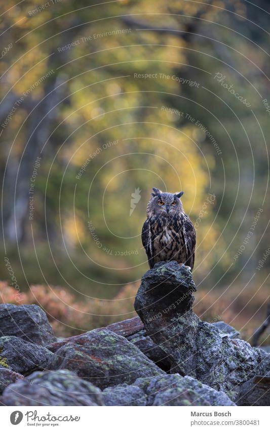 Uhu, Bubo bubo, Uhu, Uhu Eule Eulen Eulenvogel Steinadler - Eule Steinadler-Eule Greifvoegel Greifvogel herbst Herbstfaerbung Herbstfarben Herbstlaub